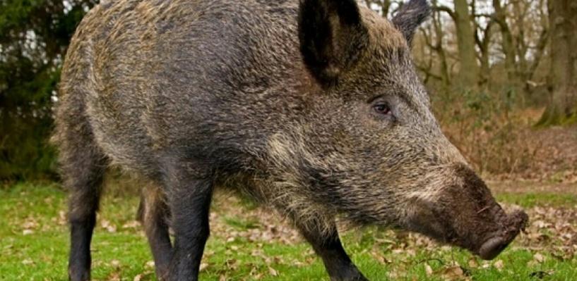 Новосибирские власти решили уничтожить популяцию диких кабанов на границе с Омской областью