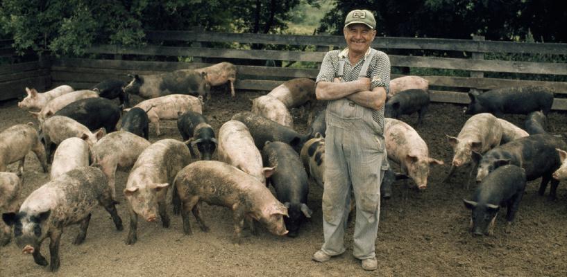 На владельца свиней, умерших под Омском от африканской чумы, завели дело