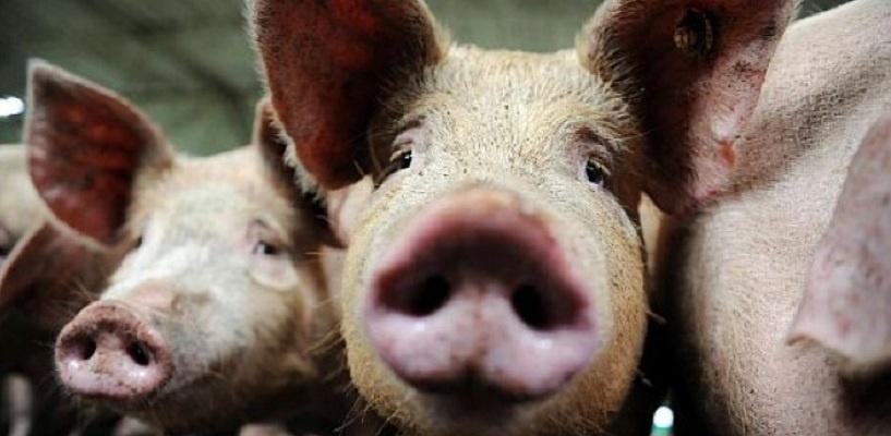 Фермер Фиксель, на подворье которого началась чума свиней в Омской области, может отправиться в тюрьму