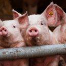 Белоруссия запретила ввоз свинины из Омской области