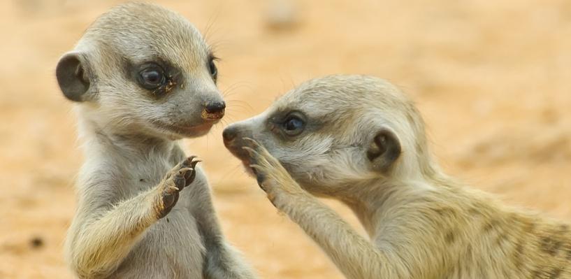 В Большереченском зоопарке появились на свет четыре суриката