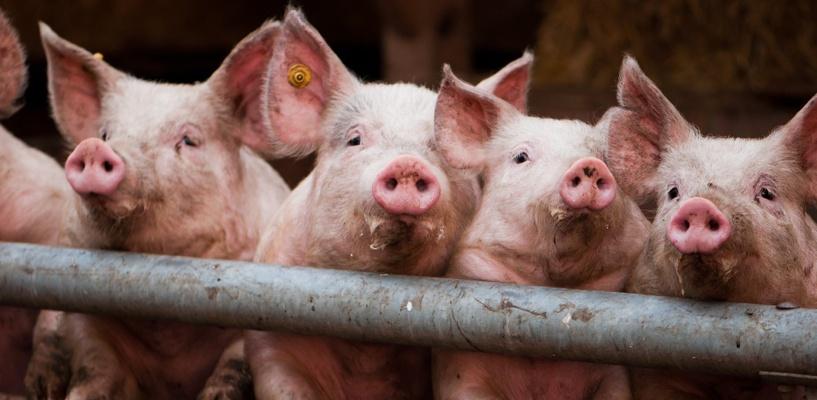 За изъятых свиней омским фермерам выплатят 27 млн компенсации