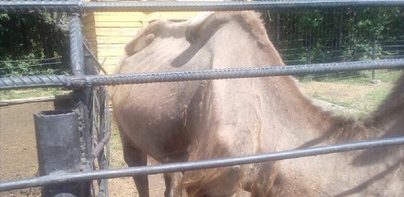Омич заснял в Большереченском зоопарке измождённого верблюда и полупарализованную барсучиху