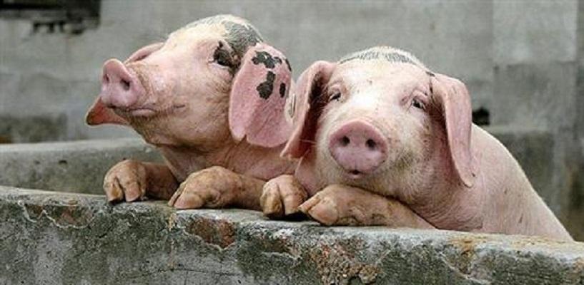 В Омской области из-за африканской чумы уничтожат более двух тысяч свиней