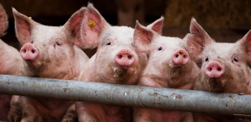 Казахстан тоже ввел запрет на ввоз свинины из Омской области