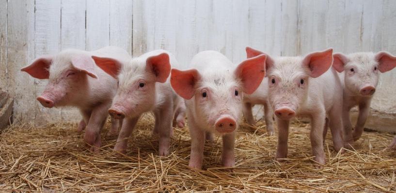 В Омской области зафиксирована вспышка африканской чумы свиней