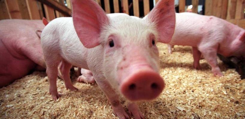 В Омской области обнаружили два новых очага африканской чумы свиней