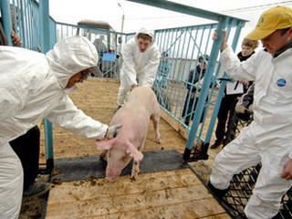 В Омской области уничтожили более 1 600 свиней