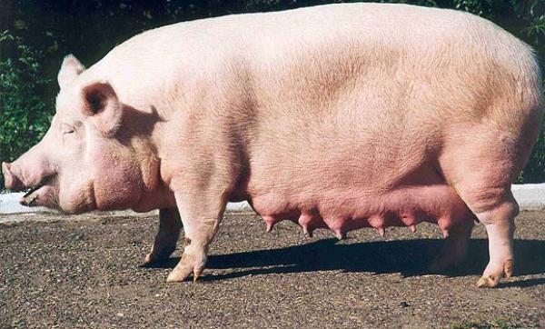 Чума свиней все больше распространяется по Омской области