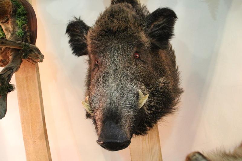 Омские кабаны не успели заразиться чумой свиней