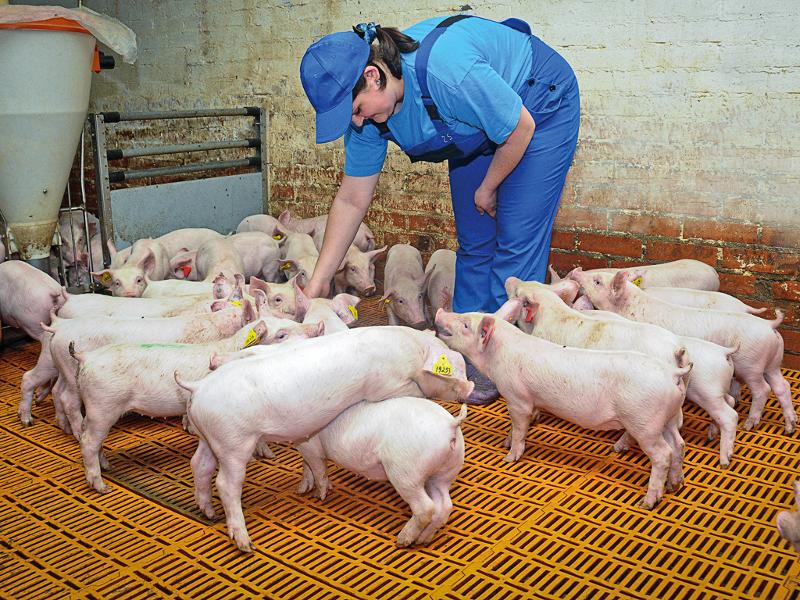 Из-за чумы свиней в Омске готовится важное совещание