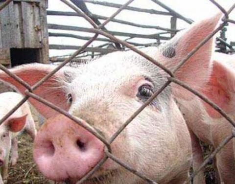Омичам начали выплачивать деньги за уничтоженных свиней