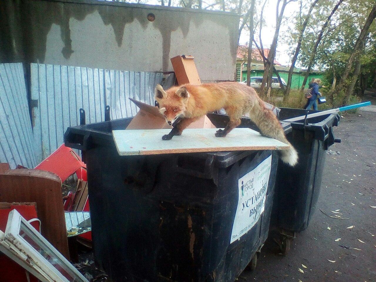 Омича удивила лиса на мусорке