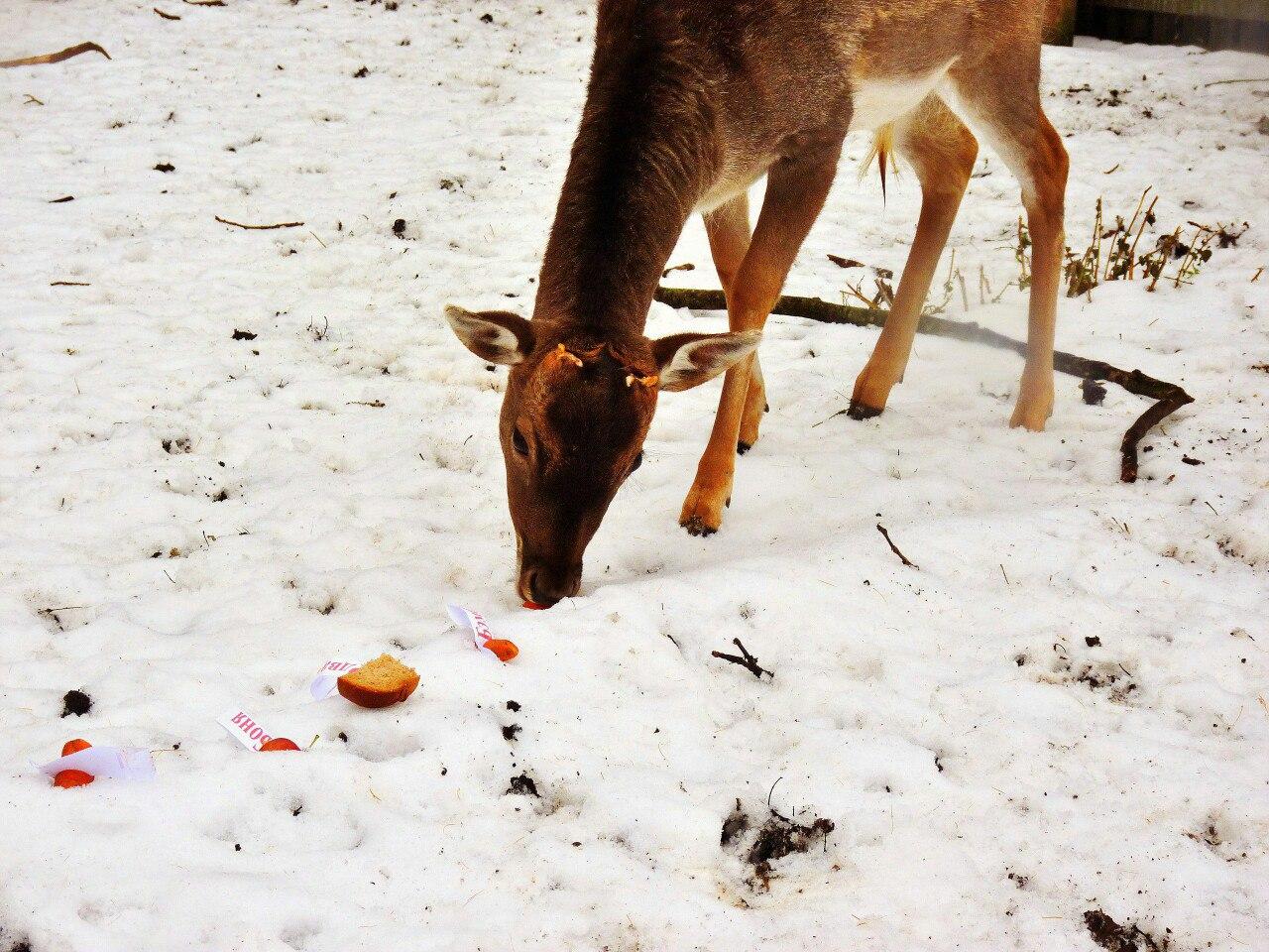 Омичи дали имя «Гриша» самцу европейской лани в Большереченском зоопарке