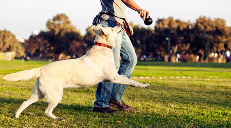 Таблетки Бравекто – надёжная защита собаки от блох и клещей